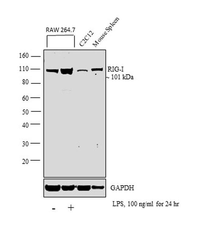 RIG-I Antibody in Western Blot (WB)