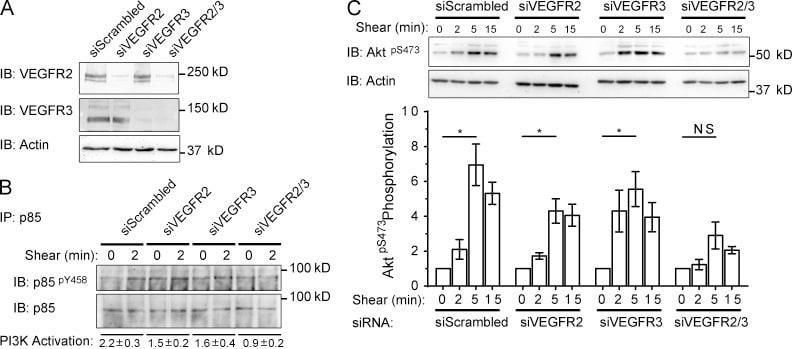 Phospho-AKT1 (Ser473) Antibody