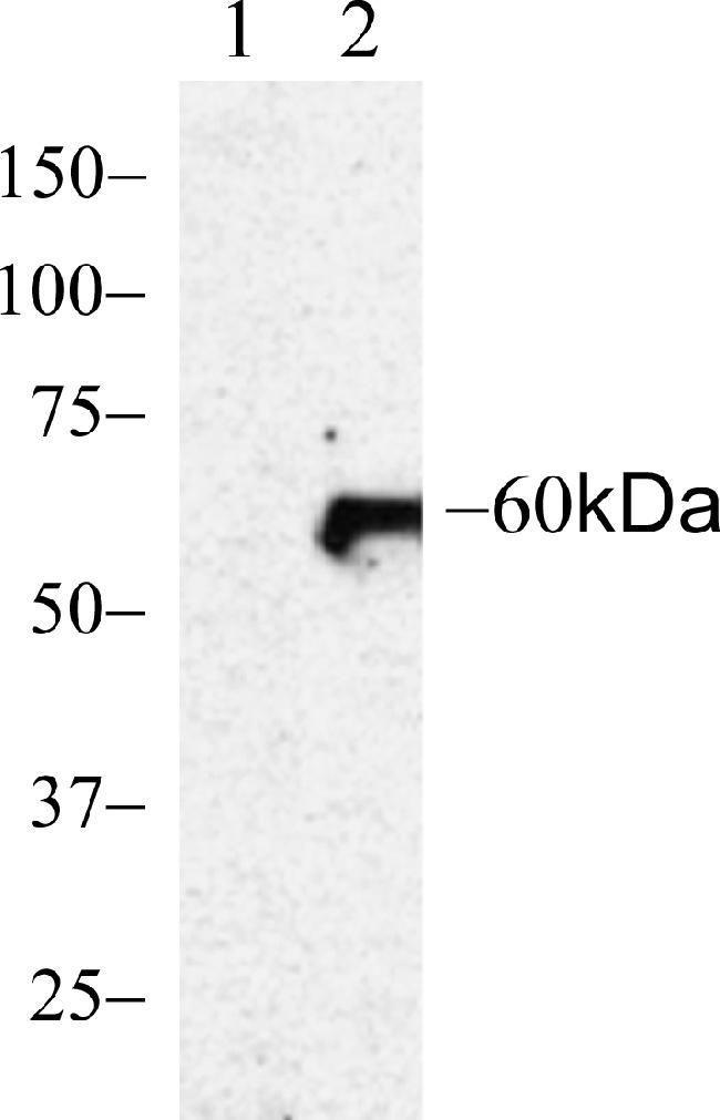 Phospho-AKT1 (Ser473) Antibody in Western Blot (WB)