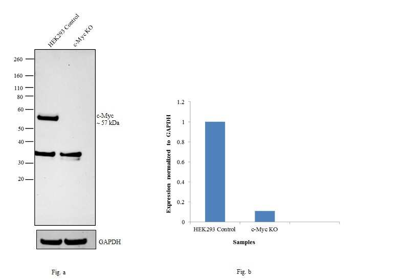 c-Myc Antibody in Western Blot (WB)