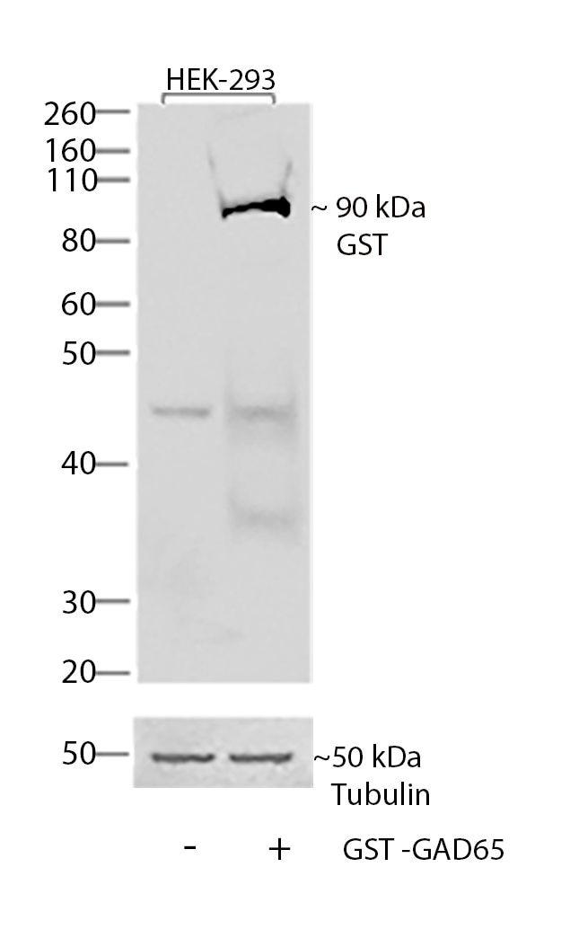 GST Tag Antibody in Western Blot (WB)