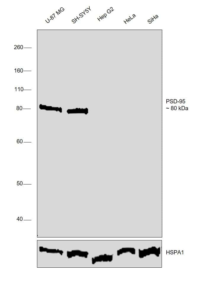 PSD-95 Antibody in Relative expression