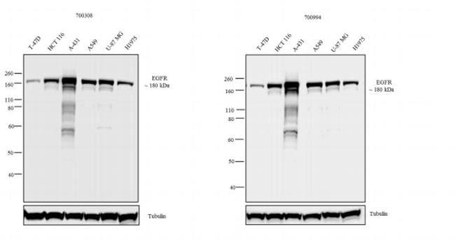 EGFR Antibody in Independent antibody