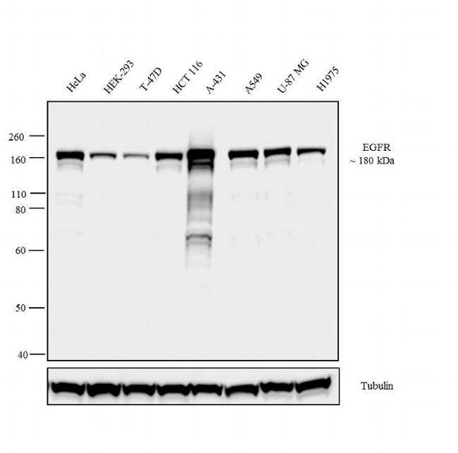 EGFR Antibody in Relative expression