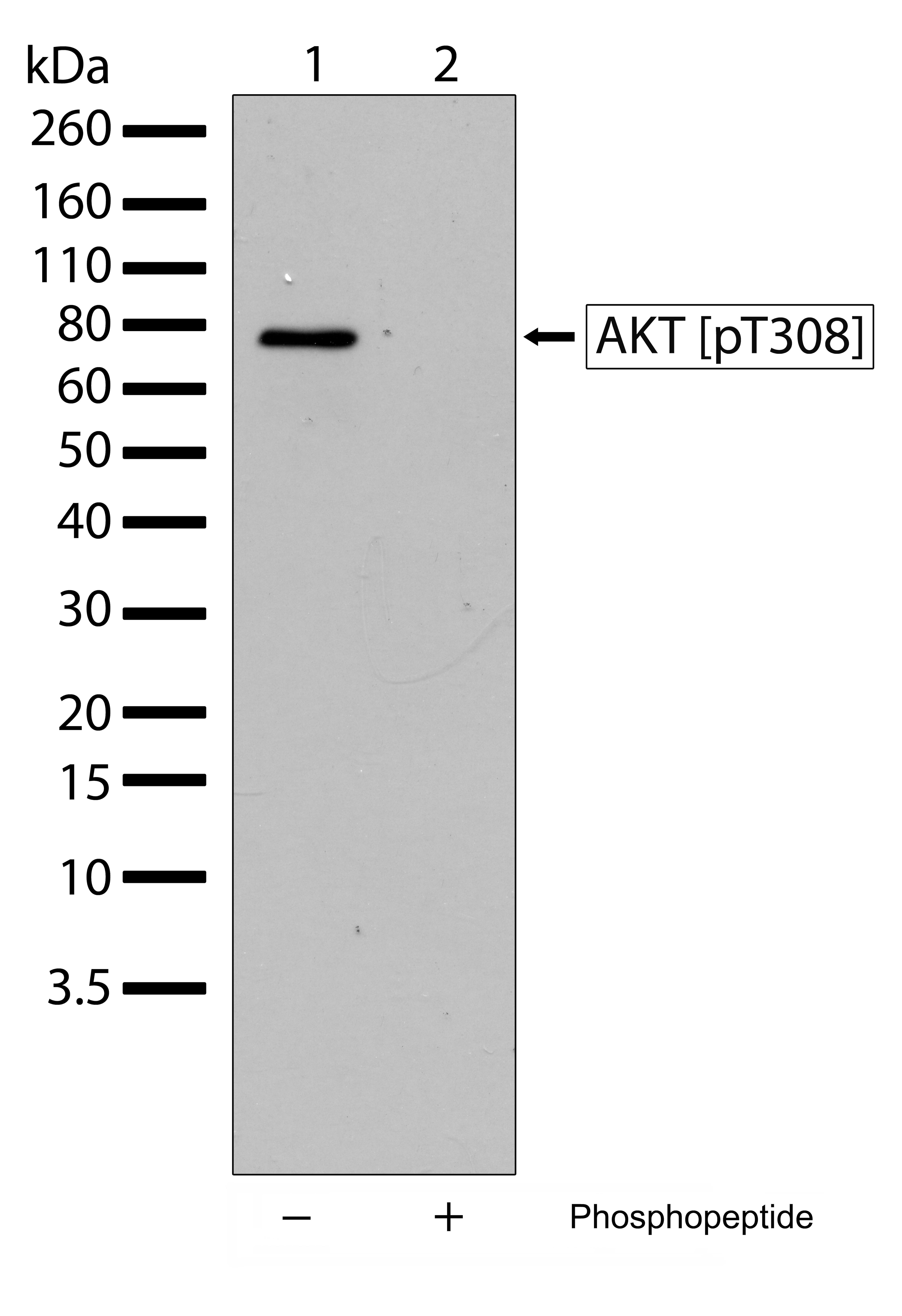 Phospho-AKT1 (Thr308) Antibody in Western Blot (WB)