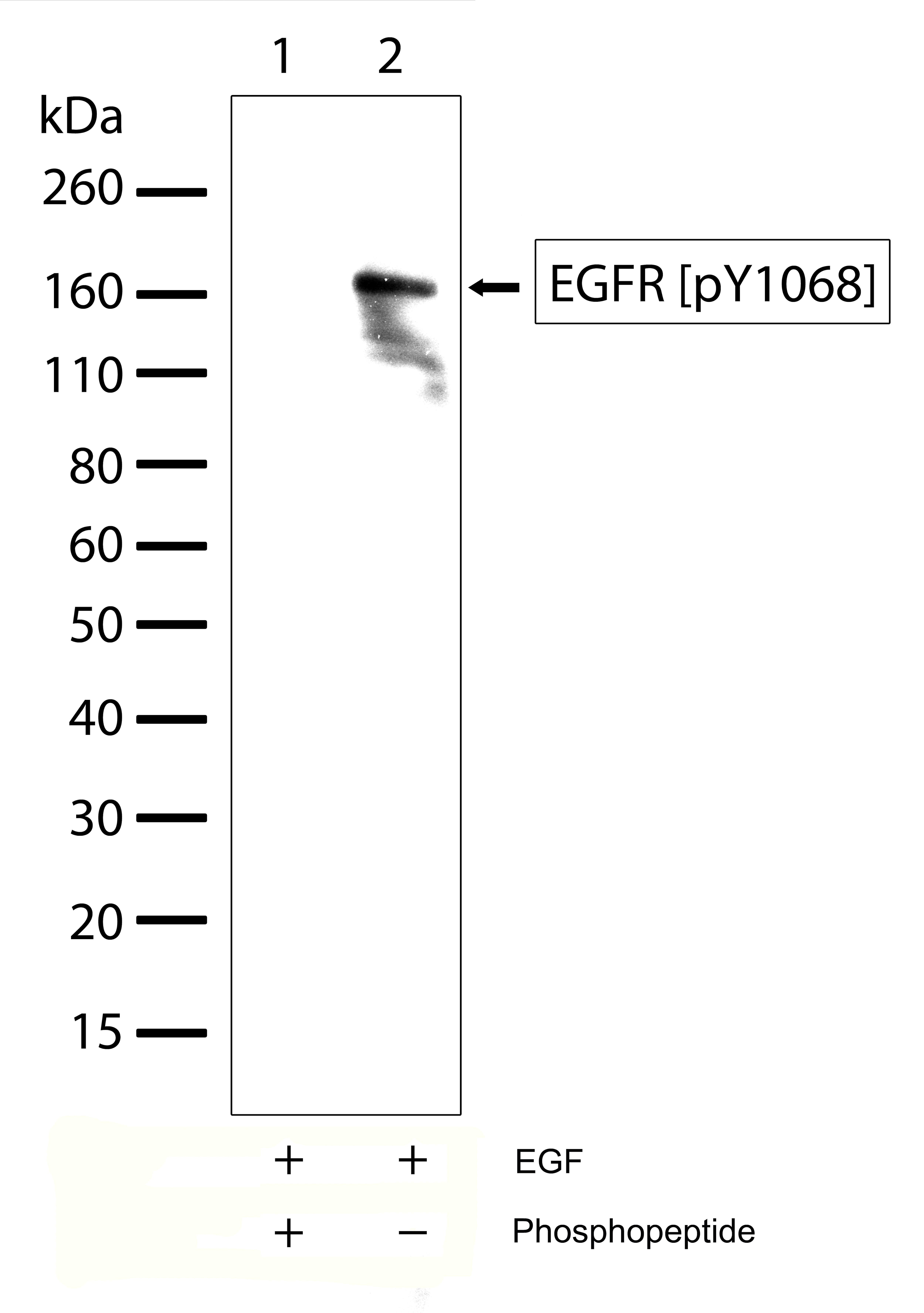 Phospho-EGFR (Tyr1068) Antibody in Western Blot (WB)