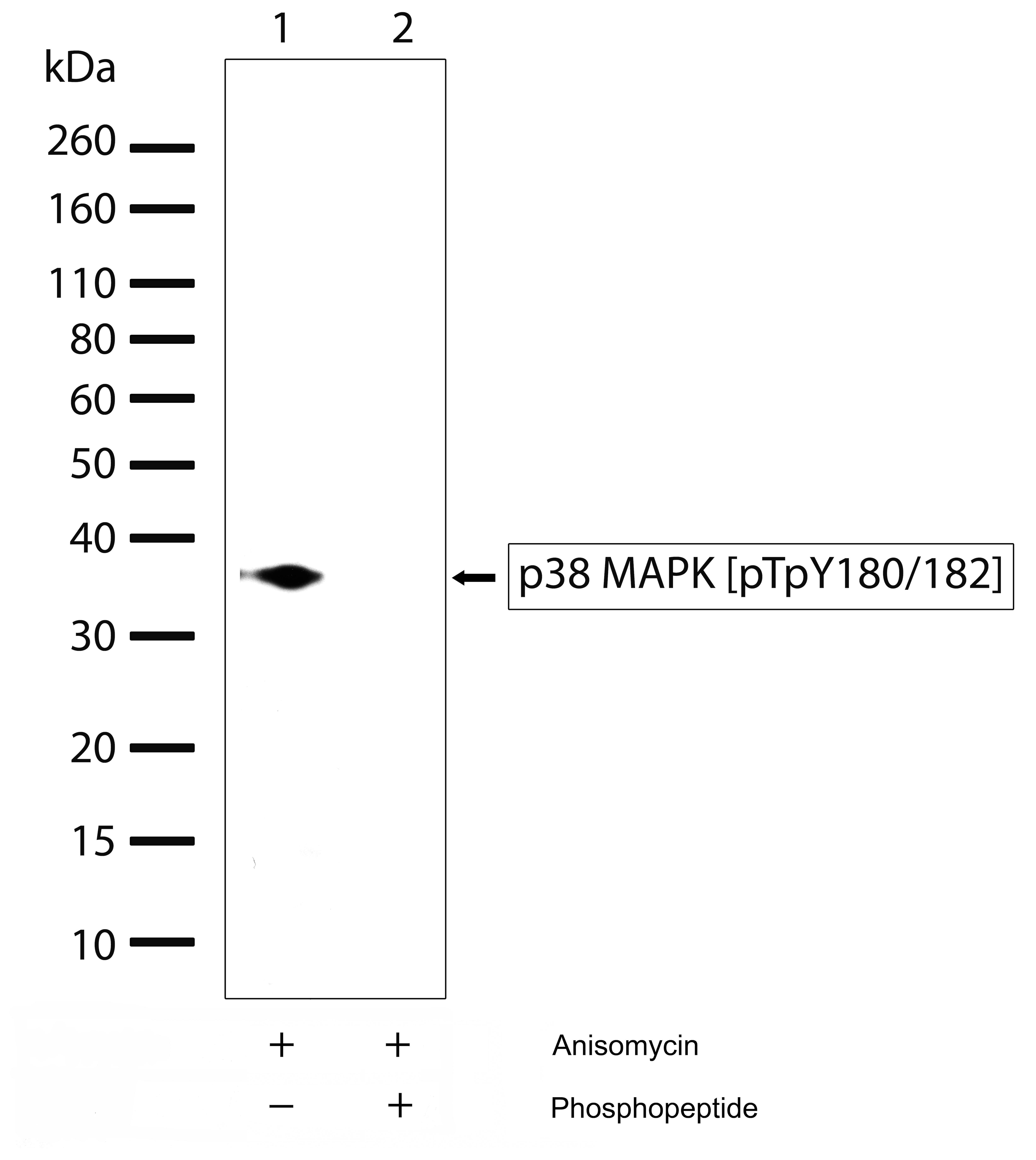 Phospho-p38 MAPK alpha (Thr180, Tyr182) Antibody in Western Blot (WB)