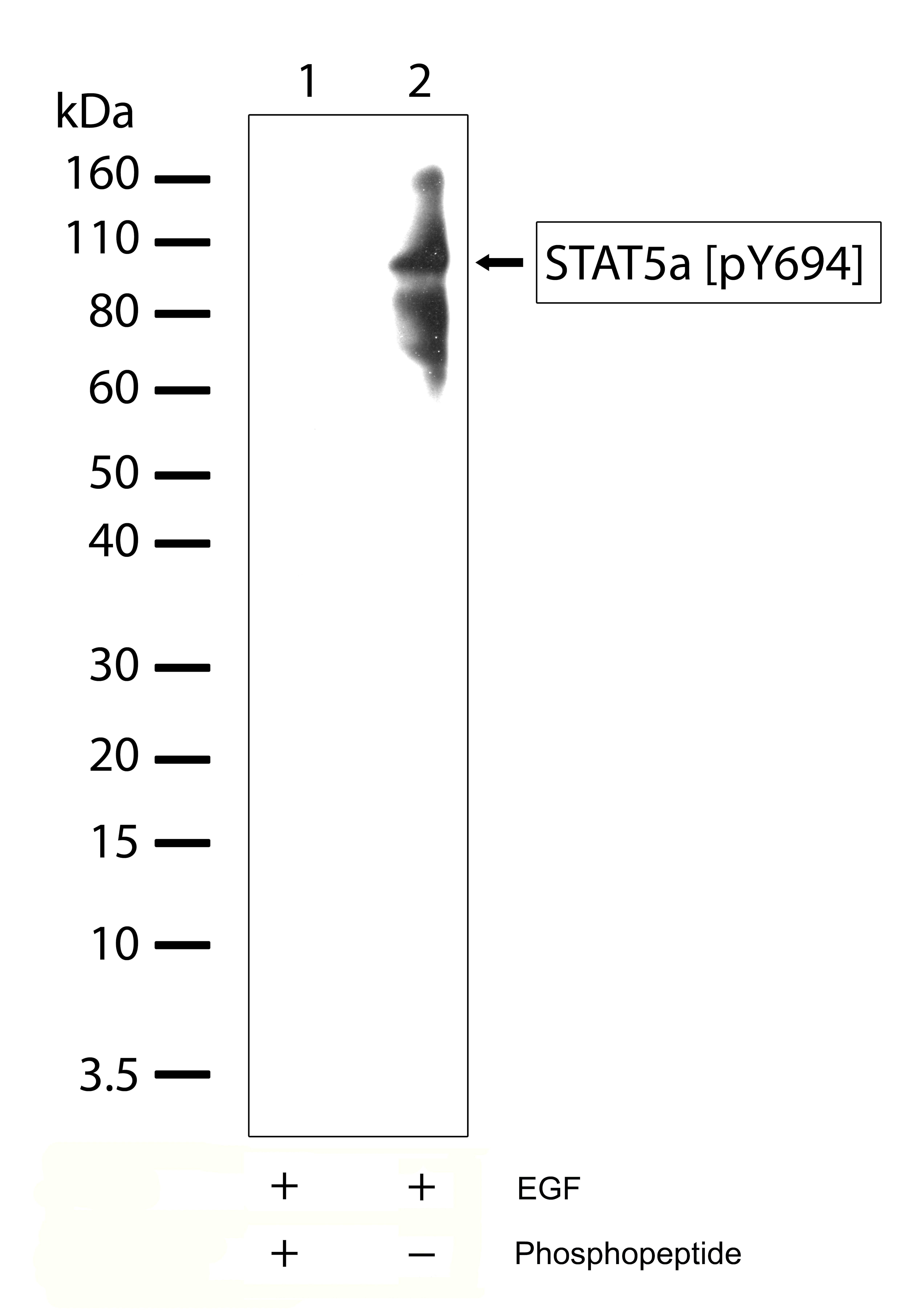 Phospho-STAT5 alpha (Tyr694) Antibody in Western Blot (WB)
