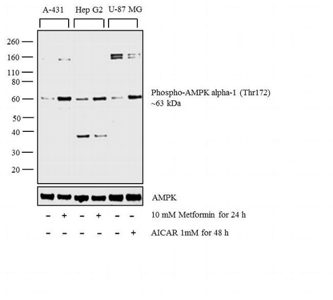 Phospho-AMPK alpha-1,2 (Thr183, Thr172) Antibody in Cell treatment