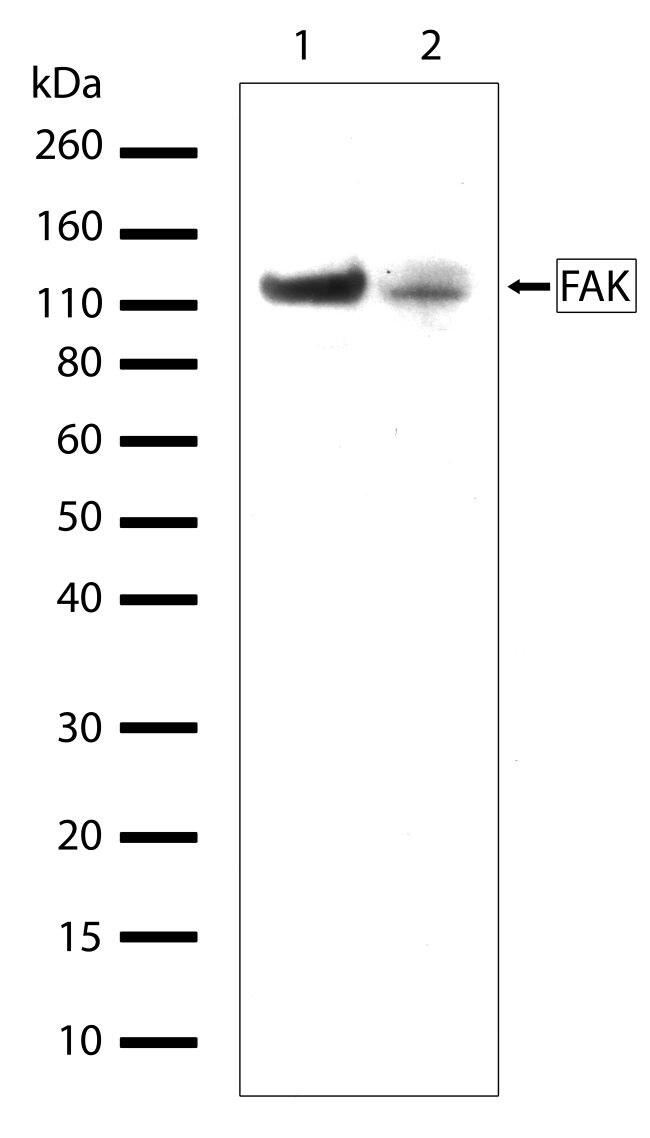 FAK Antibody in Western Blot (WB)