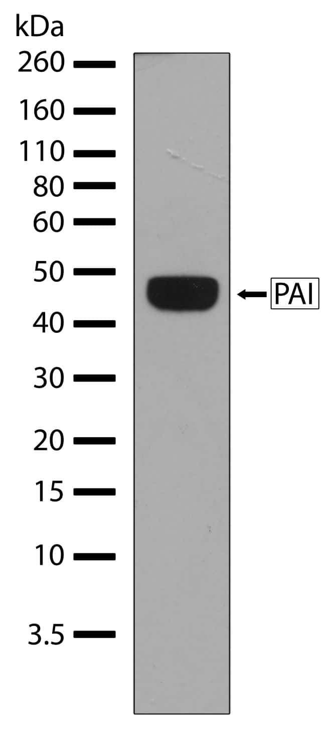PAI1 Antibody in Western Blot (WB)