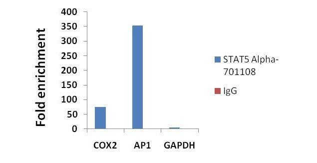 STAT5 alpha Antibody in ChIP assay (ChIP)