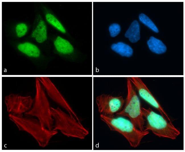 CREB Antibody in Immunofluorescence (IF)
