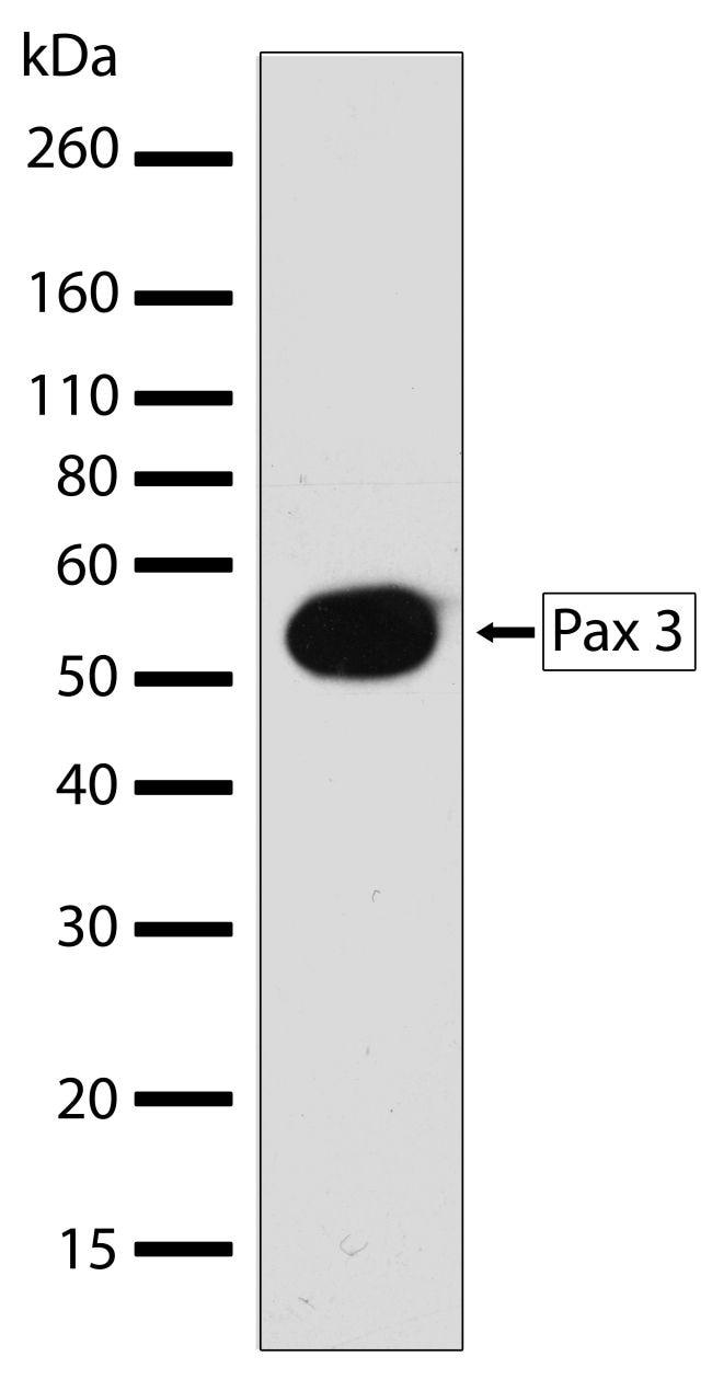 PAX3 Antibody in Western Blot (WB)