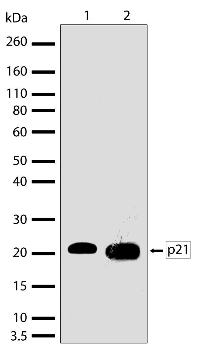 p21 Antibody in Western Blot (WB)