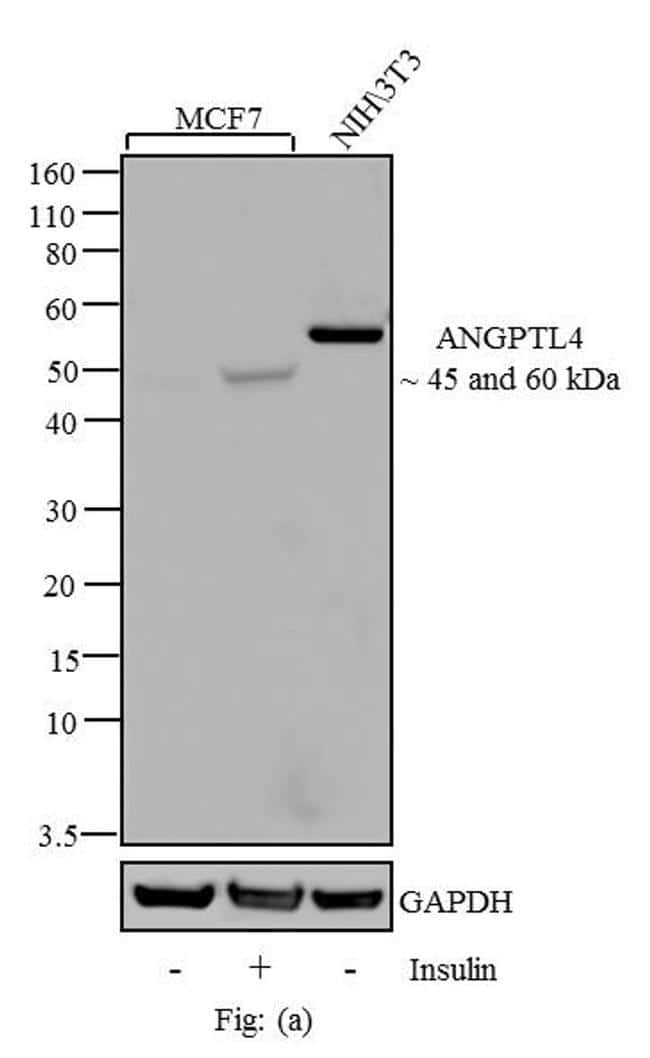 ANGPTL4 Antibody in Cell treatment