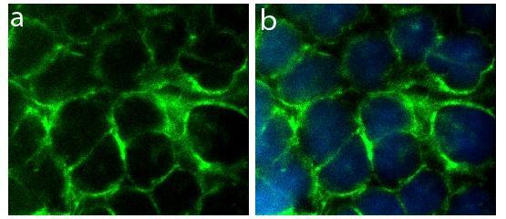 Connexin 36 Antibody in Immunofluorescence (IF)