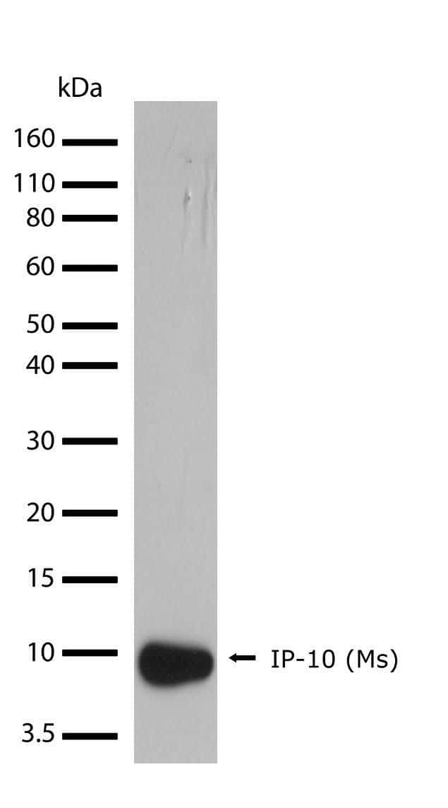 CXCL10 Antibody in Western Blot (WB)