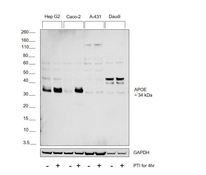 APOE Antibody in Relative expression