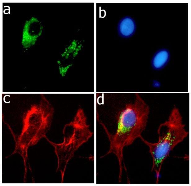 APOE Antibody in Immunofluorescence (IF)
