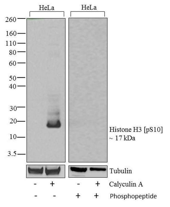 Phospho-Histone H3 (Ser10) Antibody in Cell Treatment