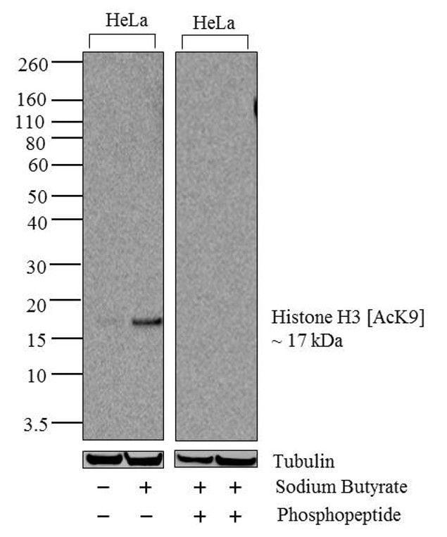 Acetyl-Histone H3 (Lys9) Antibody in Western Blot (WB)