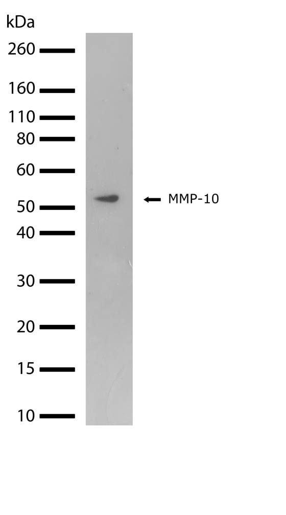 MMP10 Antibody in Western Blot (WB)