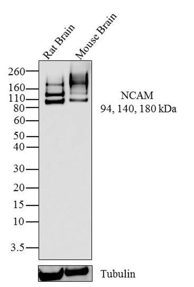 CD56 Antibody in Western Blot (WB)