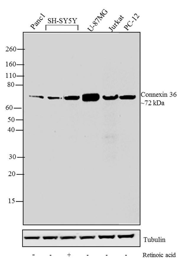 Connexin 36 Antibody in Western Blot (WB)