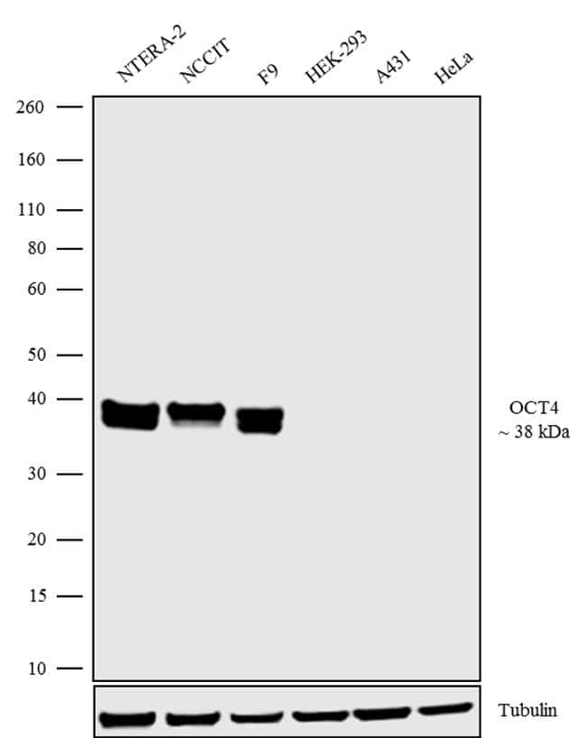 OCT4 Antibody in Relative expression