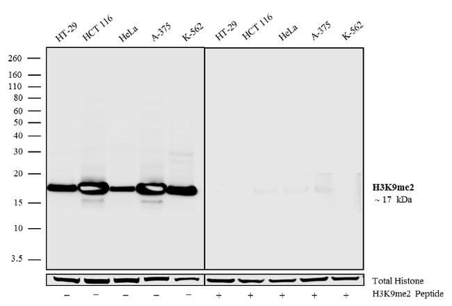 Di-Methyl-Histone H3 (Lys9) Antibody in Western Blot (WB)