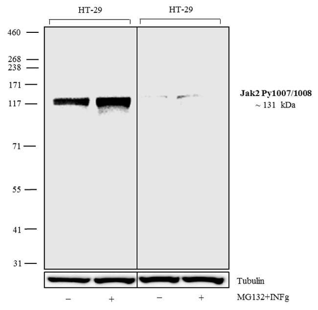 Phospho-JAK2 (Tyr1007, Tyr1008) Antibody in Cell Treatment
