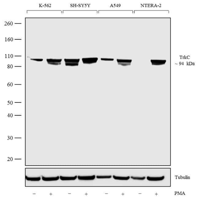 TrkC Antibody in Cell Treatment