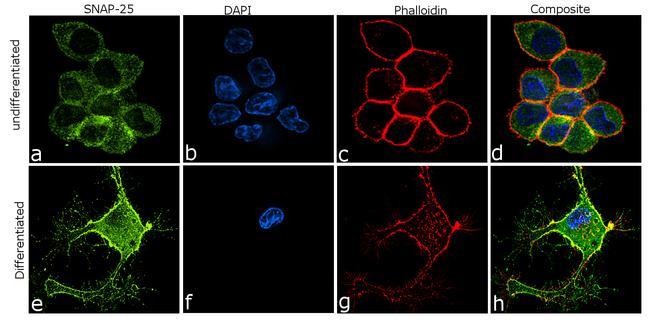 SNAP25 Antibody in Immunocytochemistry (ICC)