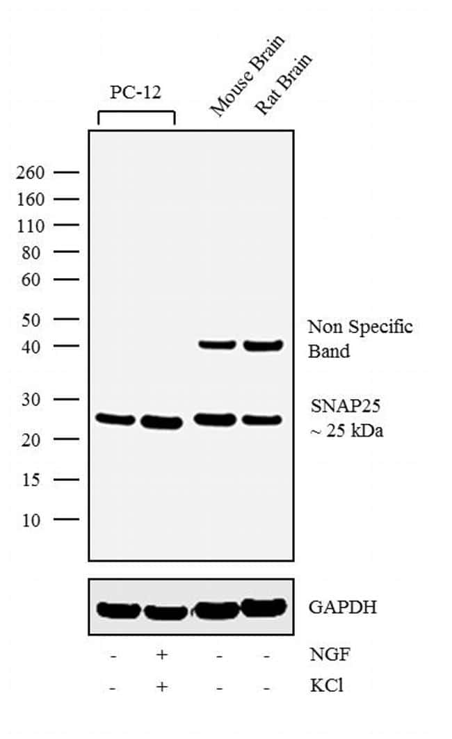 SNAP25 Antibody in Cell Treatment