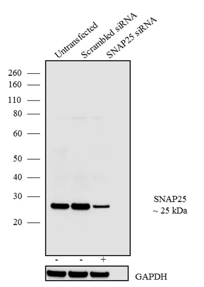 SNAP25 Antibody in KnockDown