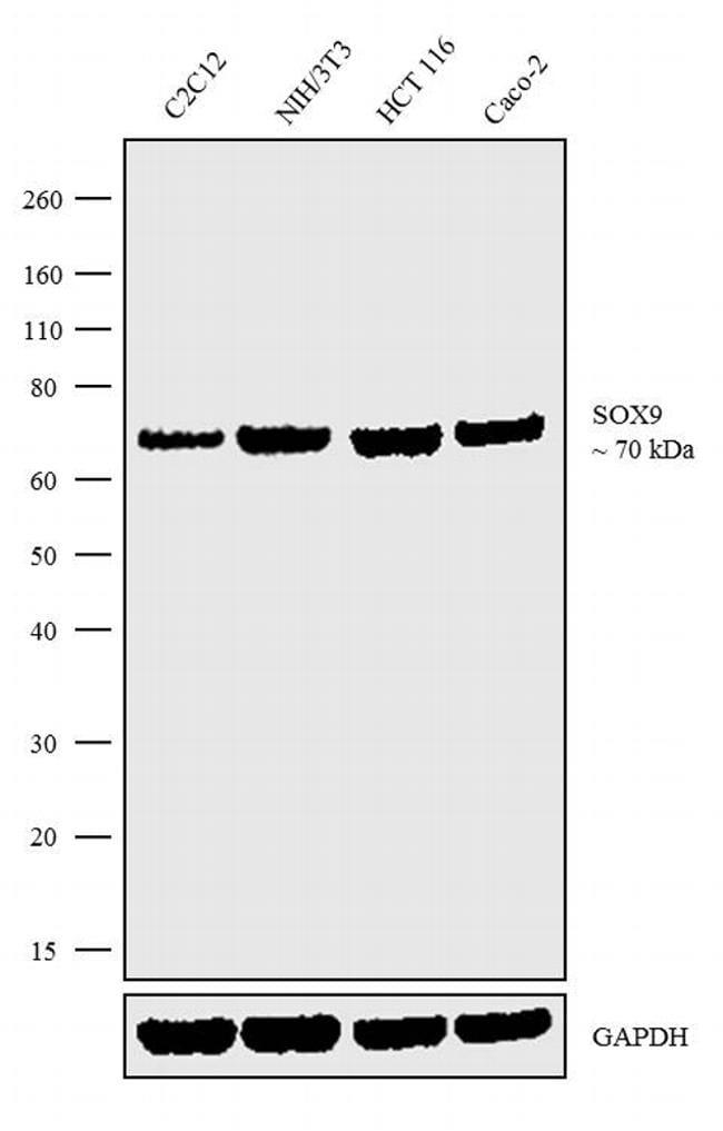 SOX9 Antibody in Western Blot (WB)
