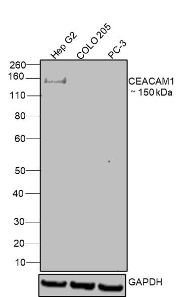 CEACAM1 Antibody in Relative expression
