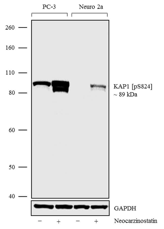 Phospho-TRIM28 (Ser824) Antibody in Cell Treatment
