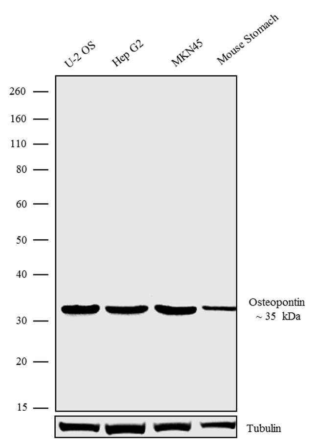 OPN-R Antibody in Western Blot (WB)