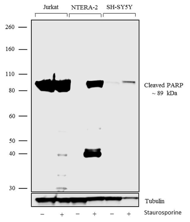 Parp Antibody Recombinant Monoclonal 8h2l9
