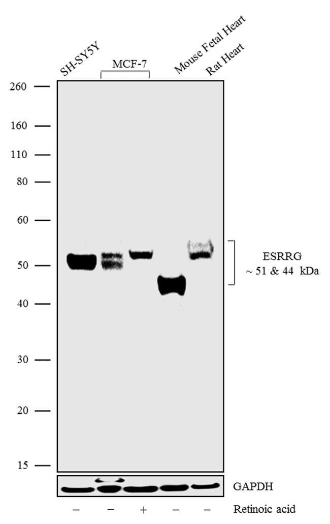 ESRRG Antibody in Western Blot (WB)