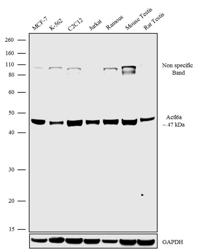 BAF53A Antibody in Western Blot (WB)