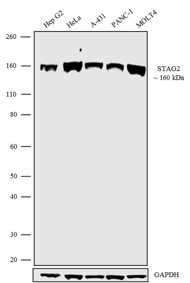 STAG2 Antibody in Western Blot (WB)