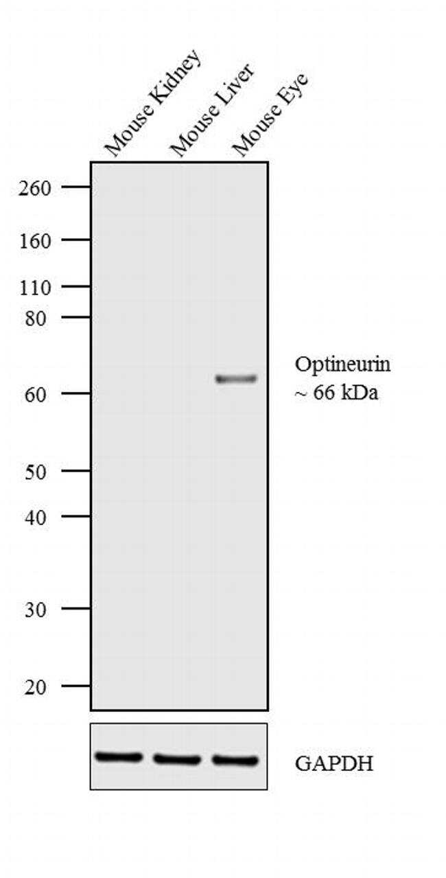 Optineurin Antibody in Relative expression