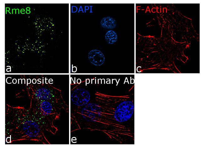DNAJC13 Antibody in Immunocytochemistry (ICC)