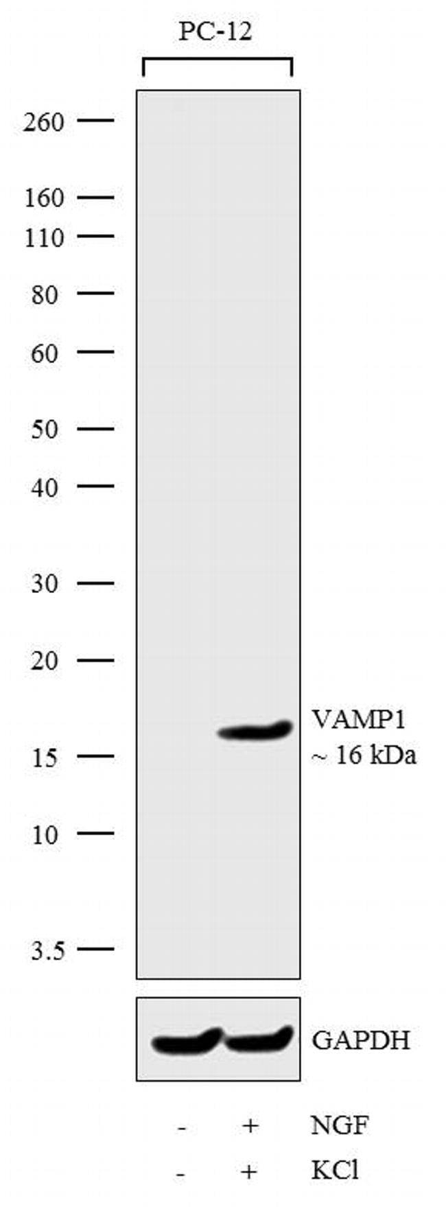 VAMP1 Antibody in Cell treatment