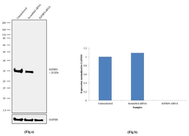 IGFBP4 Antibody in Knockdown