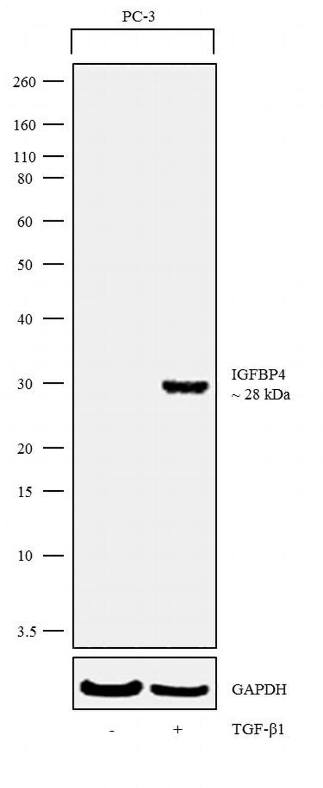 IGFBP4 Antibody in Cell treatment