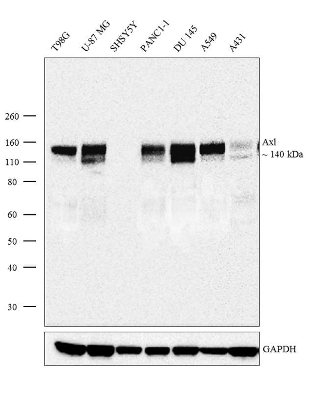 Axl Antibody in Western Blot (WB)